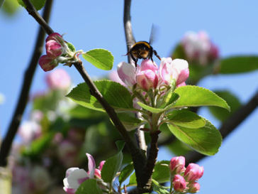 Foraging on Apple blossom