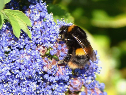 Tree Bumble Bee on Ceanothus