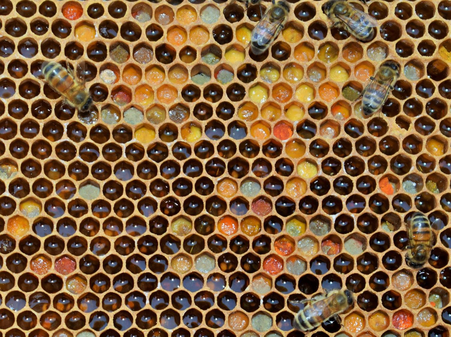 A frame of stores made from un-capped honey and different coloured pollen from a variety of different plants.