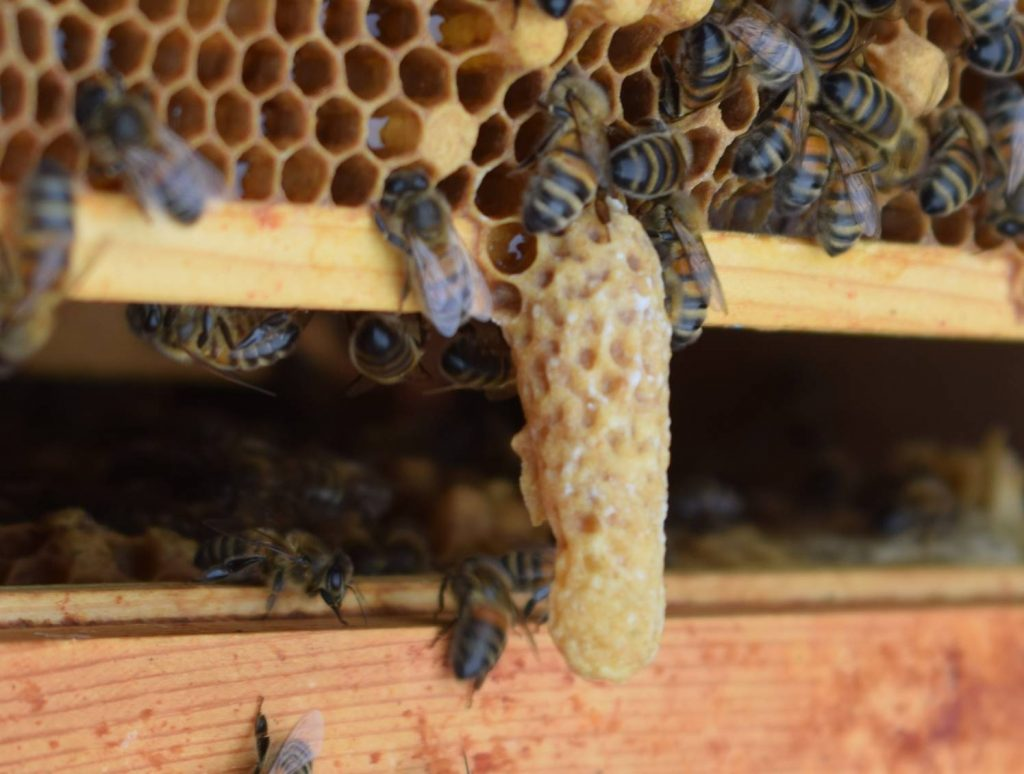 Natural queen cell built by honey bees
